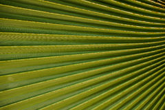 Closeup to green palm leaf Livistona Rotundifolia tree texture Royalty Free Stock Photography