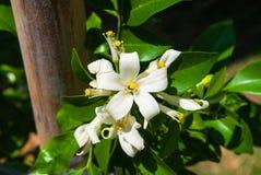 Closeup to Group of Beautiful Orange Jessamine Flower Stock Photography