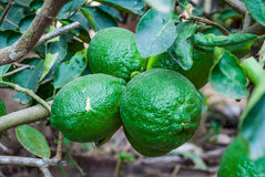 Closeup to Growing Lime on Tree.  royalty free stock photo
