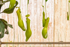 Closeup to Hanging Carnivorous Plant, Nepenthes/ Tropical Pitcher Plants/ Monkey Cups Stock Photo