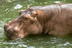 Hippopotamus in the green water. Closeup to head of Hippopotamus in the green water Royalty Free Stock Photo