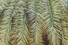 Closeup to leaves of silver date palm or sugar date palm (Phoenix sylvestris). royalty free stock image