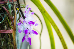 Closeup to little violet blossom orchid Royalty Free Stock Photos