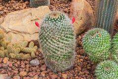 Closeup to Mammillaria Prolifera Hybrids Cactus/ Cactaceae, Succulent and Arid Plant.  Stock Photos