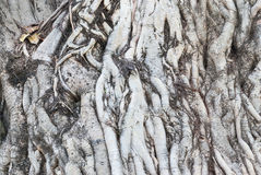 Closeup to Many Old Roots of Big Tree Background Royalty Free Stock Image