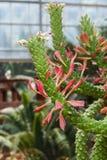 Closeup to Monadenium/ Euphorbia Ritchiei/ Euphorbiaceae, Succulent and Arid Plant.  Stock Image