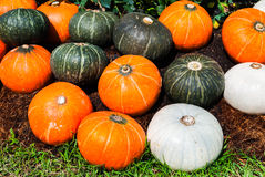 Closeup to Pile of Green White and Orange Pumpkin, Cucurbita moschata Decne, Background Stock Photo