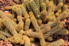 Closeup to Pile of Ladyfinger/ Gold Lace Cactus/ Mammillaria Elongata, Succulent and Arid Plant.  Stock Photos