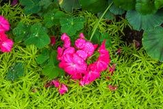 Closeup to Pink Impatiens Hawkeri W.Bull./ New Guinea Hybrids/ Balsaminaceae Stock Photos
