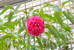 Closeup to Pink or Summer Damask Rose/ Rosa ? Damascena Mill./ Rosaceae Flowers.  Royalty Free Stock Image