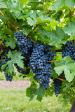 Closeup to Red Wine Vineyard Grapes Royalty Free Stock Photography