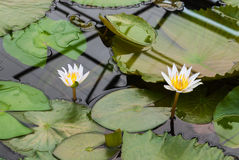 Closeup to Small Water Lily/ Nymphaea Lotus/ Nymphaeaceae royalty free stock photography