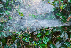 Closeup to Spider Web on Fresh Green Leaves Background Royalty Free Stock Photo