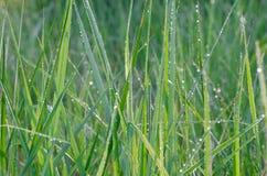 Closeup to spring grass blades Stock Images