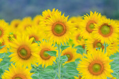 Closeup to Sunflower field Stock Images