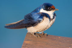 Closeup to a swallow. Closeup of a white-throated swallow perched on a wooden deck Royalty Free Stock Image
