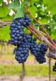 Closeup to Vineyard Grapes Royalty Free Stock Photos