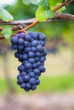 Closeup to Vineyard Grapes Royalty Free Stock Photography