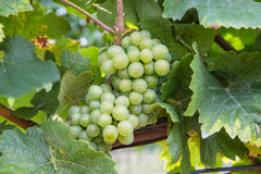 Closeup to White Wine Grapes at a Vineyard Stock Images