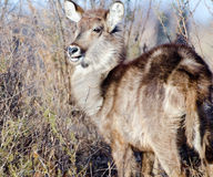 Closeup to young Waterbuck Stock Image