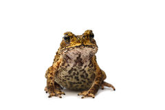 Closeup Toad Royalty Free Stock Photography