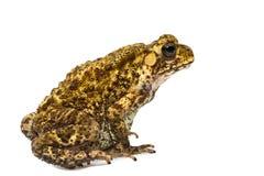 Closeup Toad