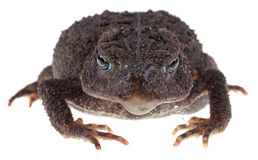 Closeup of a Toad Stock Images