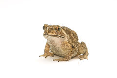 Closeup Toad Isolated on white Royalty Free Stock Image