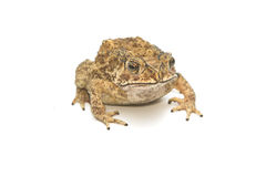 Closeup Toad Isolated on white Royalty Free Stock Photography