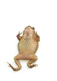 Closeup Toad Isolated on white Stock Photography