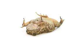 Closeup Toad Isolated on white Stock Photos