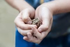 Toad in Boy`s Hands Closeup stock photography