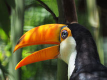 Closeup of a Toco Toucan. Closep of a Toco Toucan with Out of Focus Background royalty free stock photo
