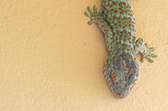 Close up Tokay Gecko is on The Wall. Closeup Tokay Gecko is on The Wall stock image