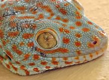 Close up Tokay Gecko is on The Wall royalty free stock images