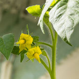 Closeup of tomato flowers Royalty Free Stock Images