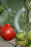 Closeup of a Tomato Hornworm Stock Photography