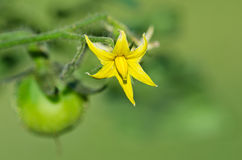Closeup of tomato plant flower Stock Photos
