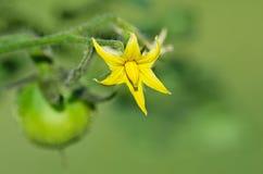 Closeup of tomato plant flower Stock Photos