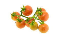 Closeup of tomatoes on the vine  Royalty Free Stock Photo