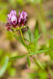 Closeup of Tomcat Clover, Trifolium willdenovii Stock Photos