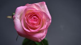Closeup top down shoot of light beautiful pink rose with raindrops on its petals with the background isolated on dark.  stock video footage