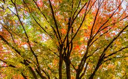 Tree with leaves in fall colors of red, orange and yellow Stock Image