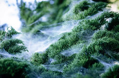 Closeup Of The Top Of A Pine Tree Which Has Spiderweb Royalty Free Stock Photos