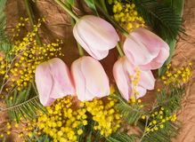Yellow mimosa flower, green branches of leaves and pink tulips stock photos
