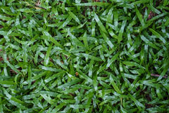 Closeup top view of lush green malaysian grass lawn background Stock Photography