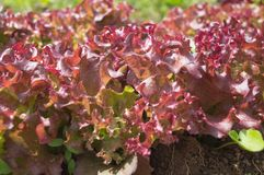 Closeup top view of a lush red lettuce plant Royalty Free Stock Photos