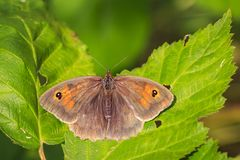Meadow brown butterfly Maniola jurtina top view wings. Closeup top view of a meadow brown butterfly Maniola jurtina front viewbutterfly Maniola jurtina on the royalty free stock photos