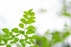 Closeup top view moringa leaves branch, herb and medical concept. Closeup top view moringa leaves branch, herb and medical stock photo