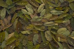 Closeup top view of willow leaves with water drops. Close up shot of leaves of a willow tree which fell on top of a lake and collected water drops Stock Photos